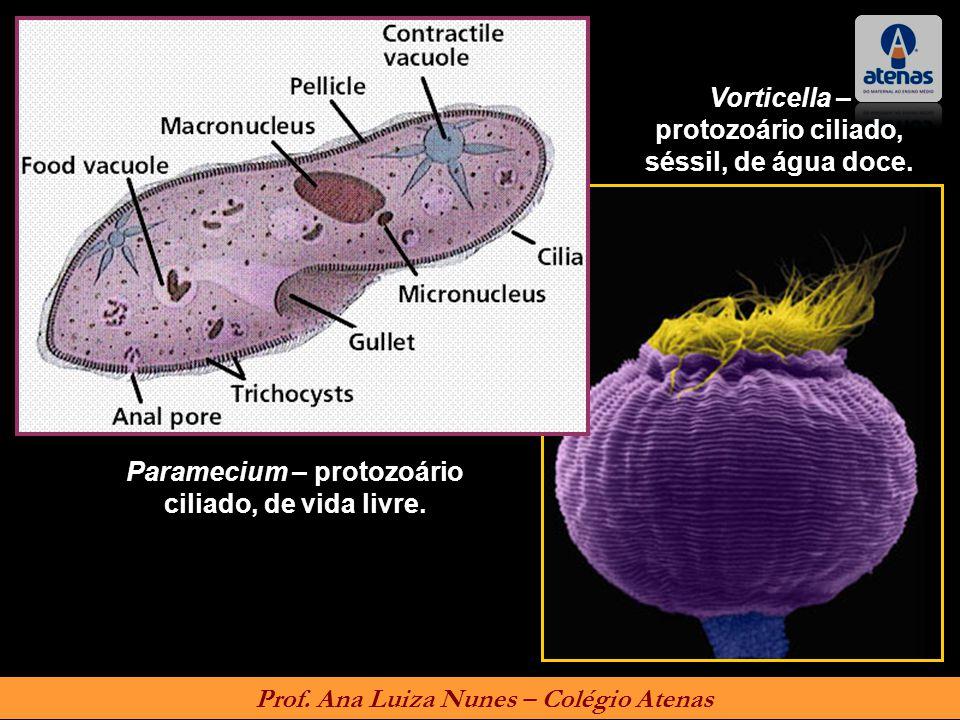Vorticella – protozoário ciliado, séssil, de água doce.