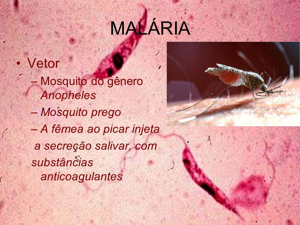 MALÁRIA Vetor Mosquito do gênero Anopheles Mosquito prego
