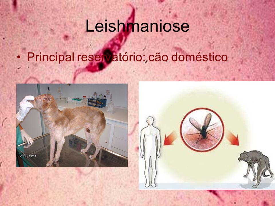 Leishmaniose Principal reservatório: cão doméstico