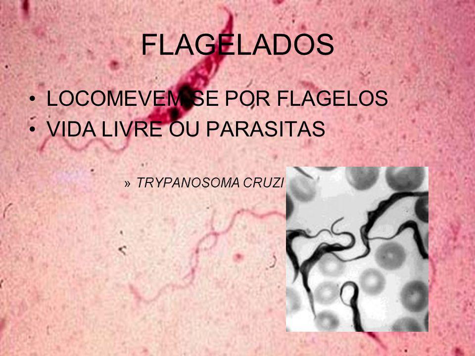 FLAGELADOS LOCOMEVEM-SE POR FLAGELOS VIDA LIVRE OU PARASITAS