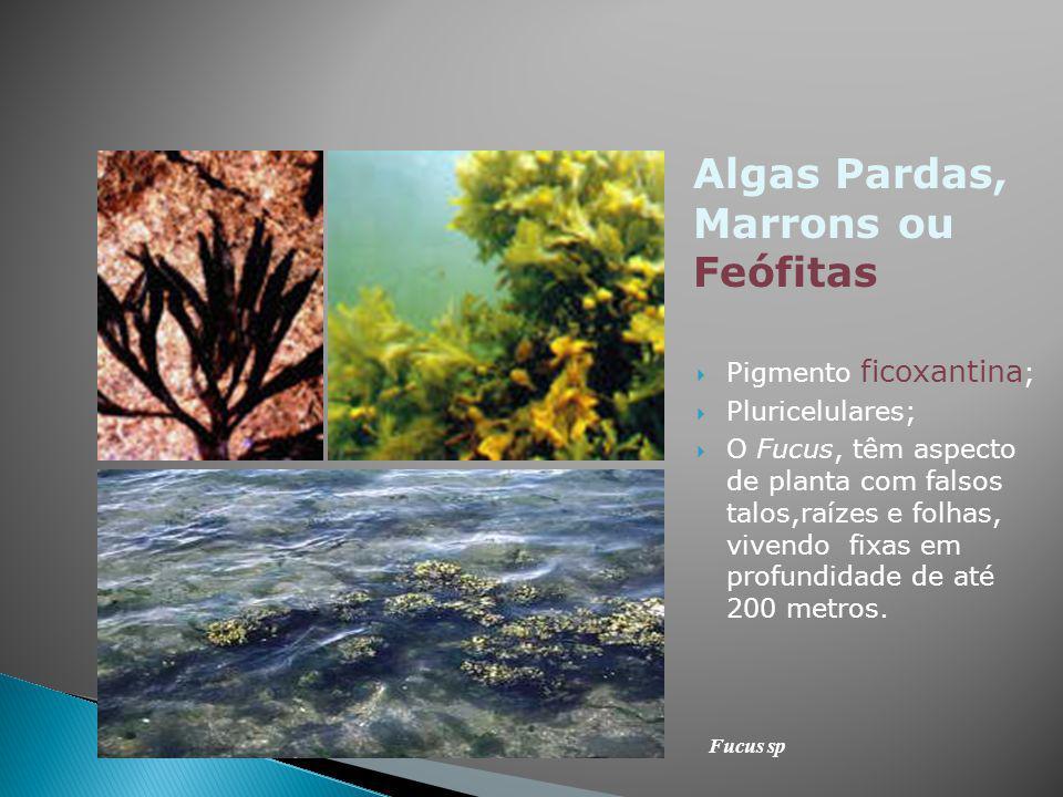 Algas Pardas, Marrons ou Feófitas