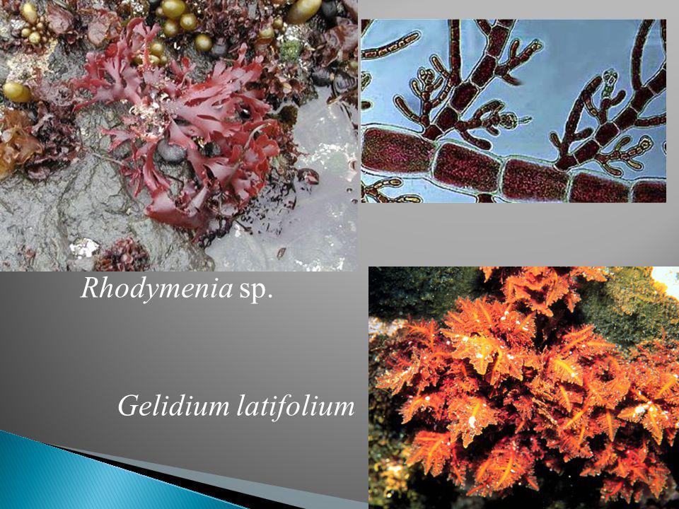 Rhodymenia sp. Gelidium latifolium