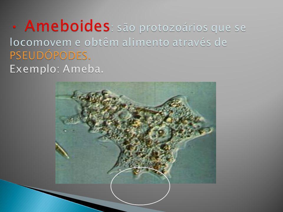Ameboides: são protozoários que se locomovem e obtêm alimento através de PSEUDÓPODES.