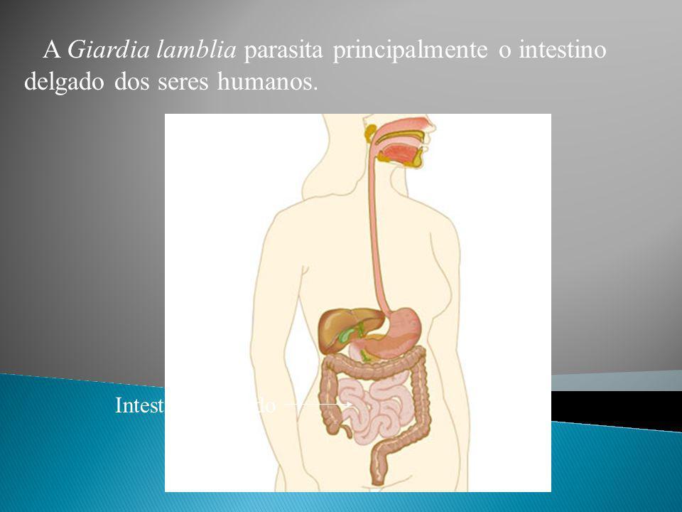 A Giardia lamblia parasita principalmente o intestino delgado dos seres humanos.