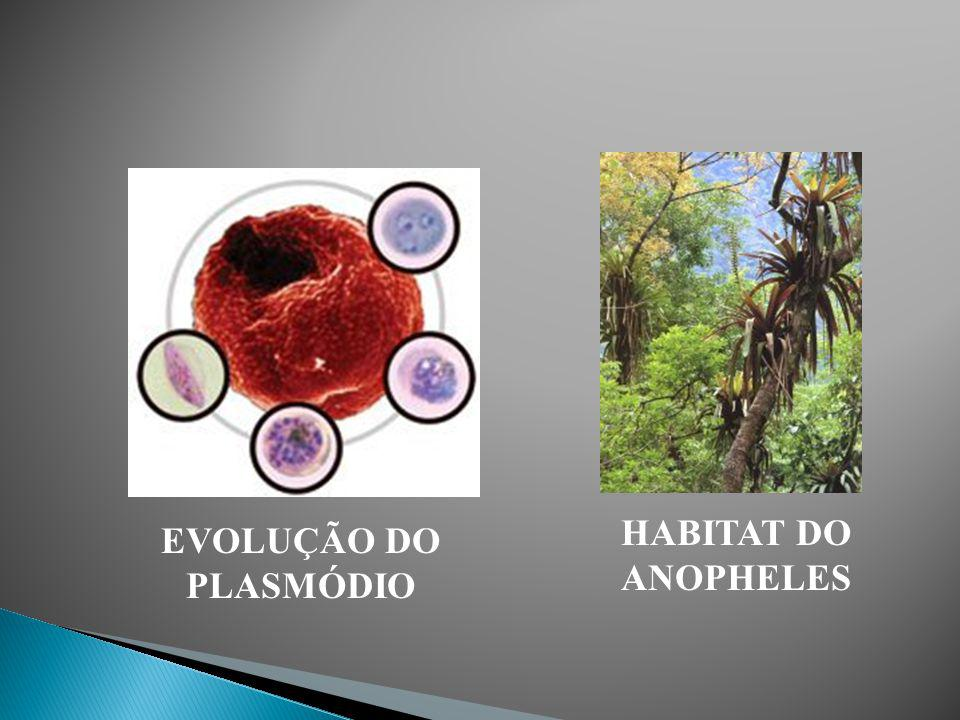 HABITAT DO ANOPHELES EVOLUÇÃO DO PLASMÓDIO