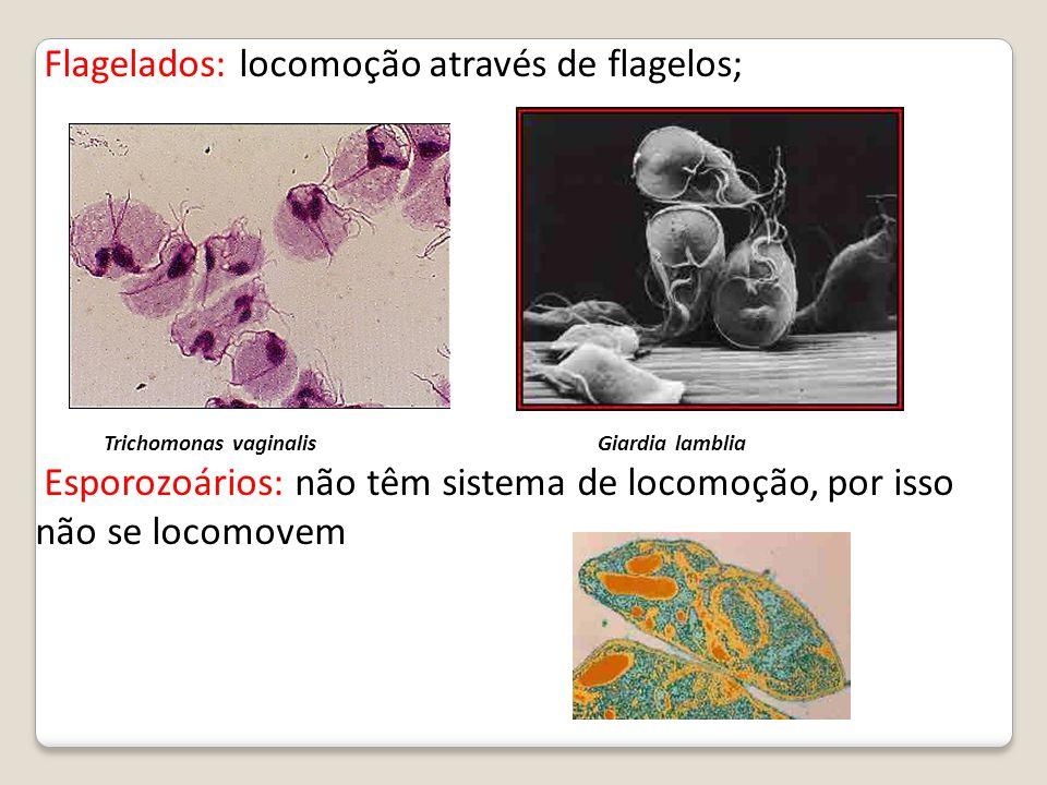 Flagelados: locomoção através de flagelos;