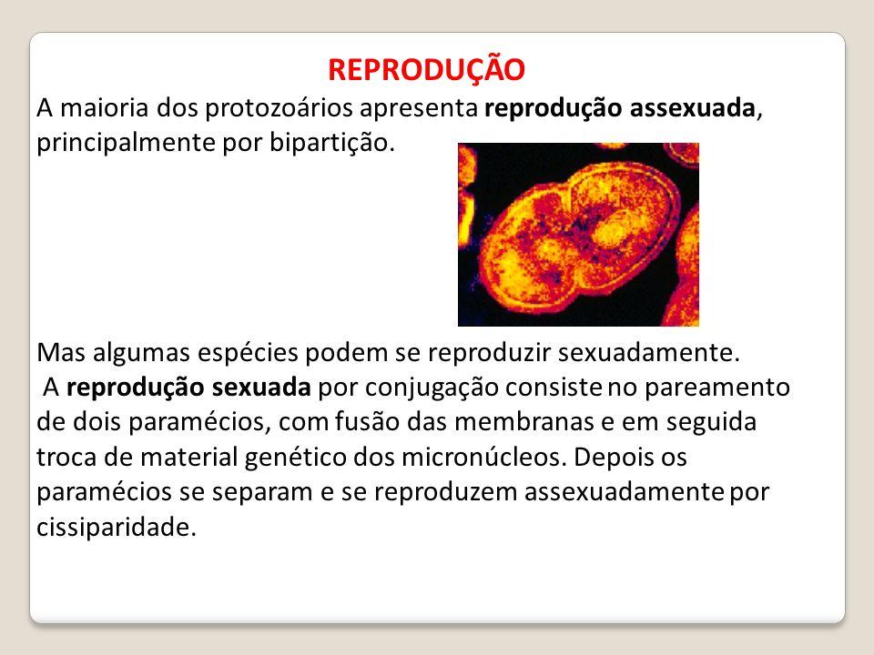 REPRODUÇÃO A maioria dos protozoários apresenta reprodução assexuada, principalmente por bipartição.