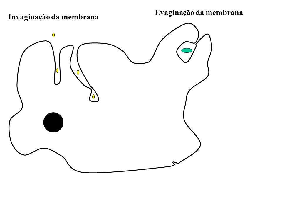 Evaginação da membrana