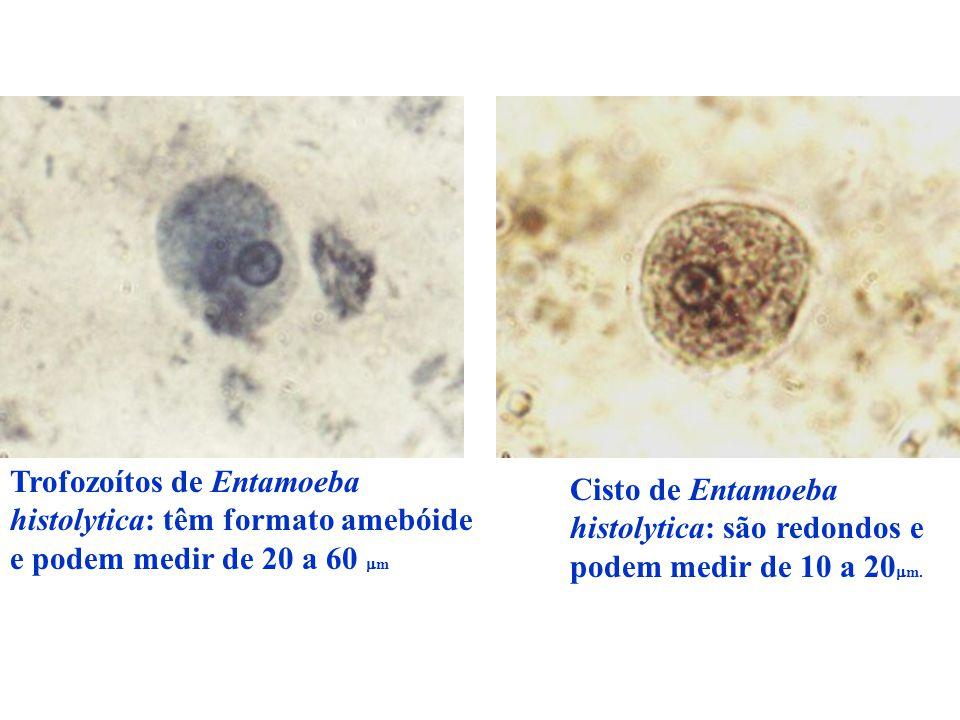 Trofozoítos de Entamoeba histolytica: têm formato amebóide e podem medir de 20 a 60 mm