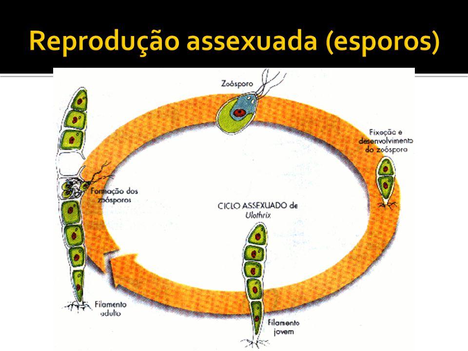 Reprodução assexuada (esporos)