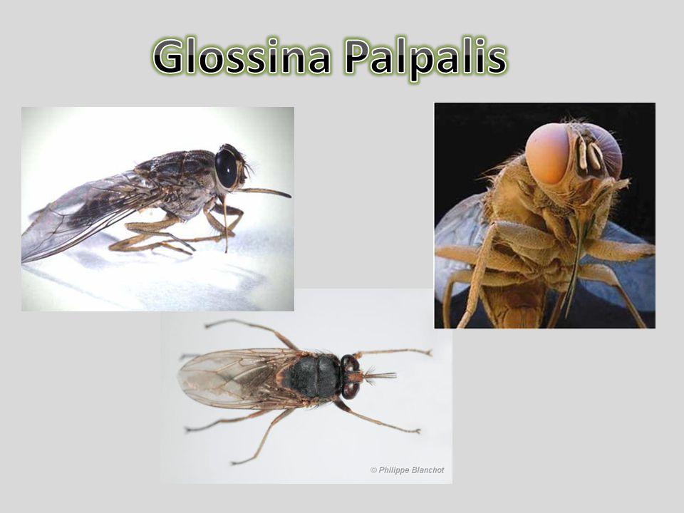 Glossina Palpalis