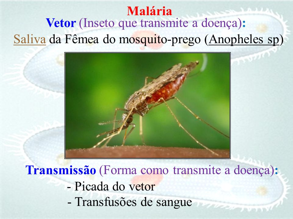(Inseto que transmite a doença): Saliva da Fêmea do mosquito-prego