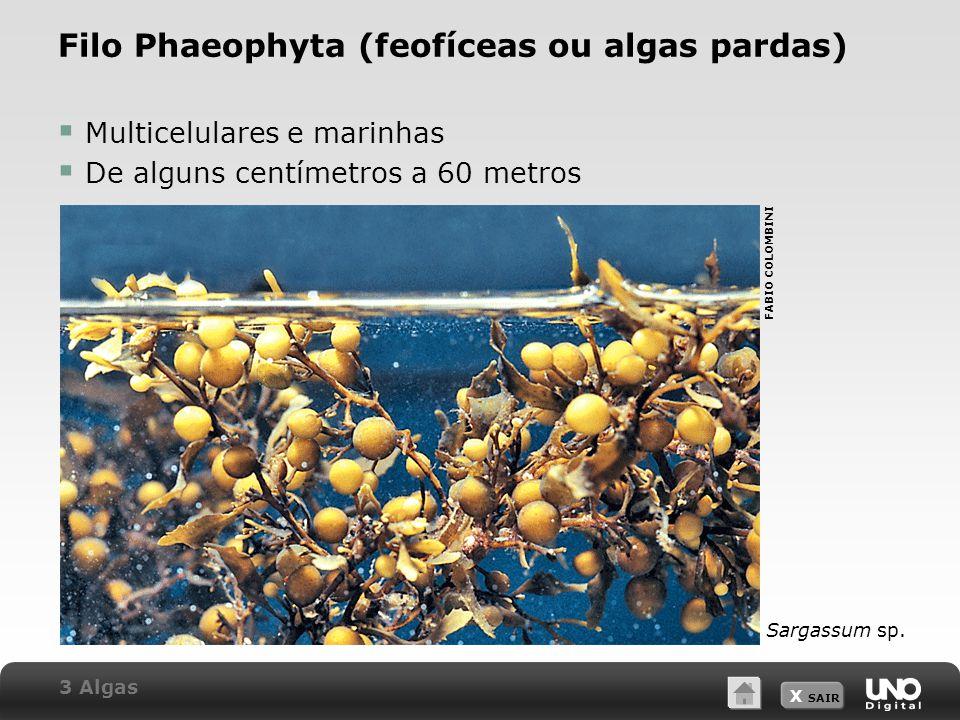 Filo Phaeophyta (feofíceas ou algas pardas)