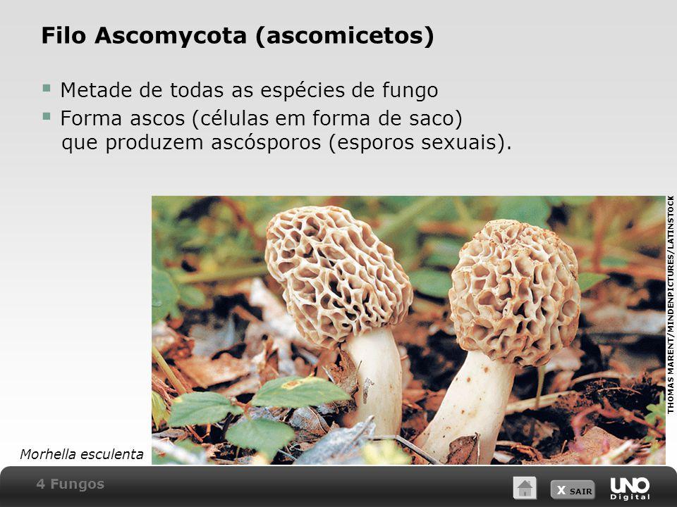 Filo Ascomycota (ascomicetos)