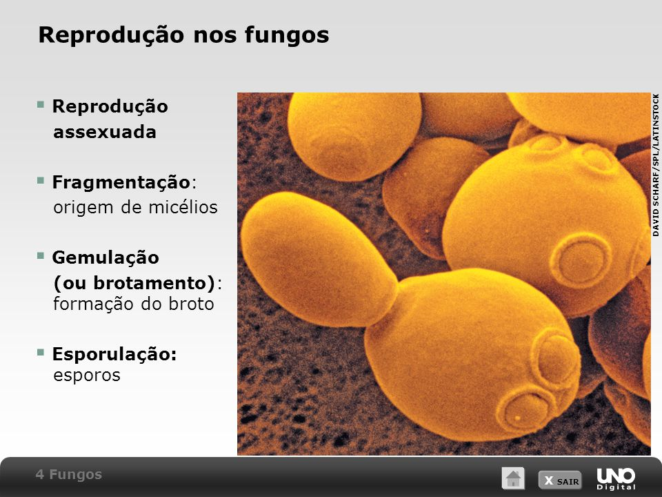 Reprodução nos fungos Reprodução assexuada Fragmentação:
