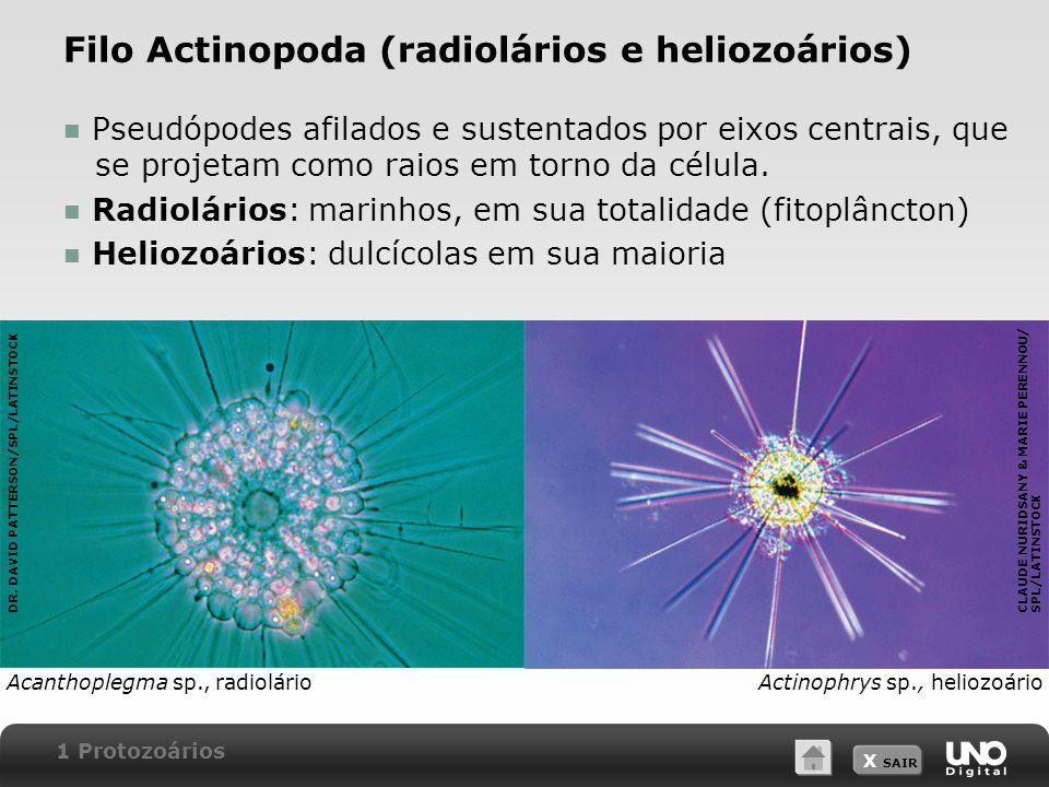 Filo Actinopoda (radiolários e heliozoários)