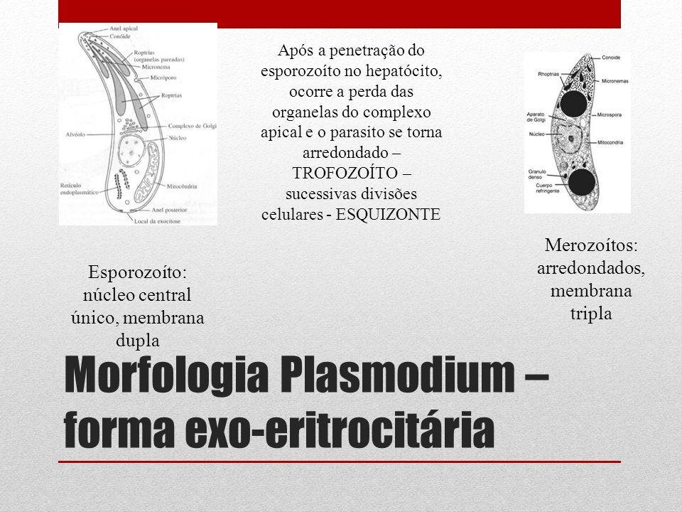 Morfologia Plasmodium – forma exo-eritrocitária