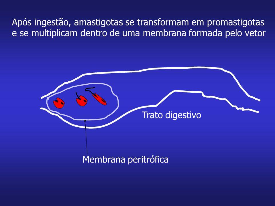 Após ingestão, amastigotas se transformam em promastigotas