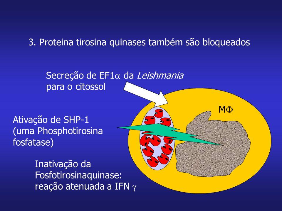 3. Proteina tirosina quinases também são bloqueados