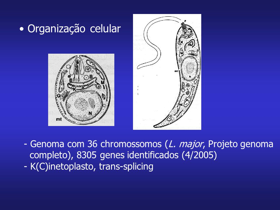 Organização celular Genoma com 36 chromossomos (L. major, Projeto genoma. completo), 8305 genes identificados (4/2005)