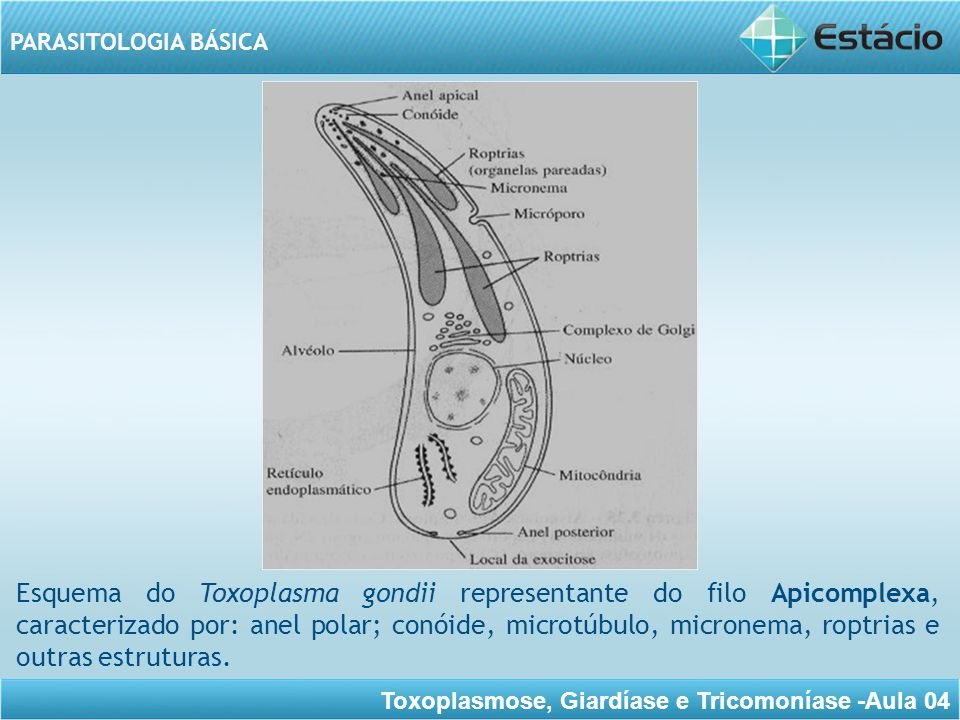 Esquema do Toxoplasma gondii representante do filo Apicomplexa, caracterizado por: anel polar; conóide, microtúbulo, micronema, roptrias e outras estruturas.