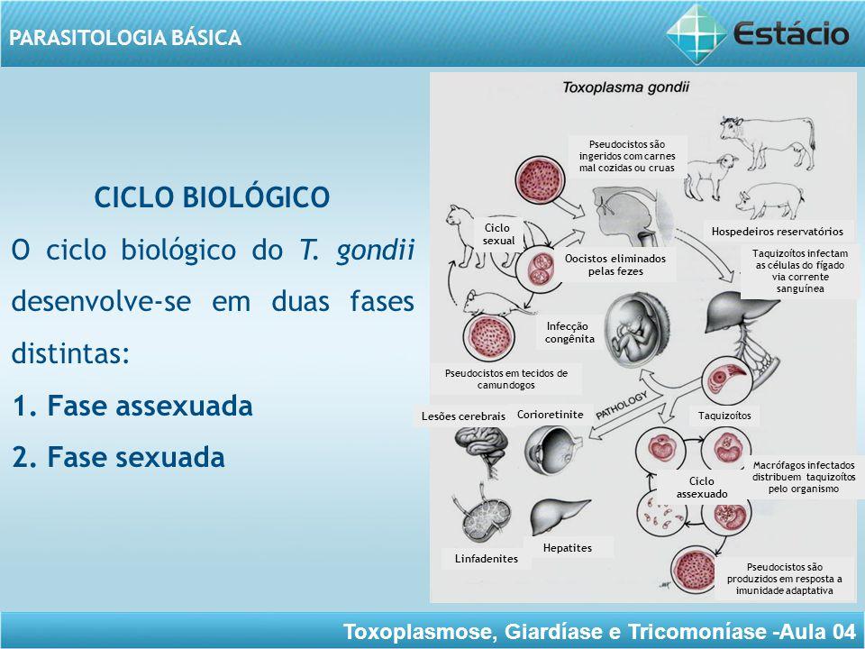 O ciclo biológico do T. gondii desenvolve-se em duas fases distintas: