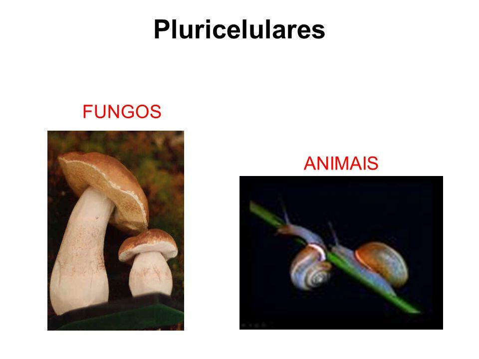 Pluricelulares FUNGOS ANIMAIS