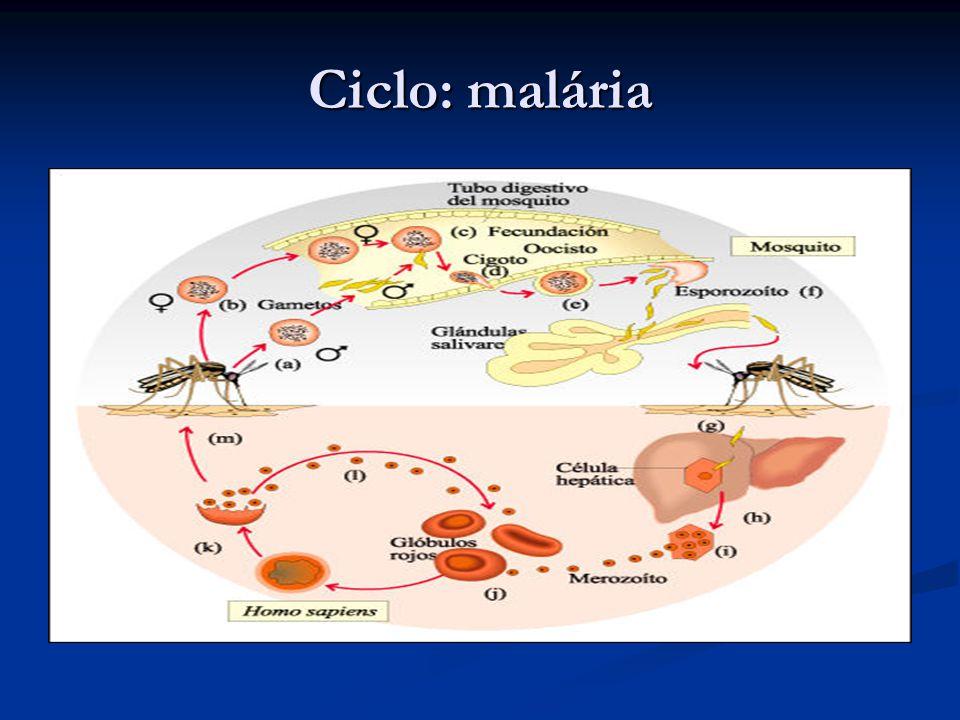 Ciclo: malária