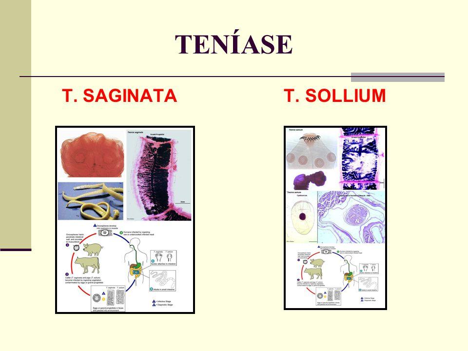 TENÍASE T. SAGINATA T. SOLLIUM