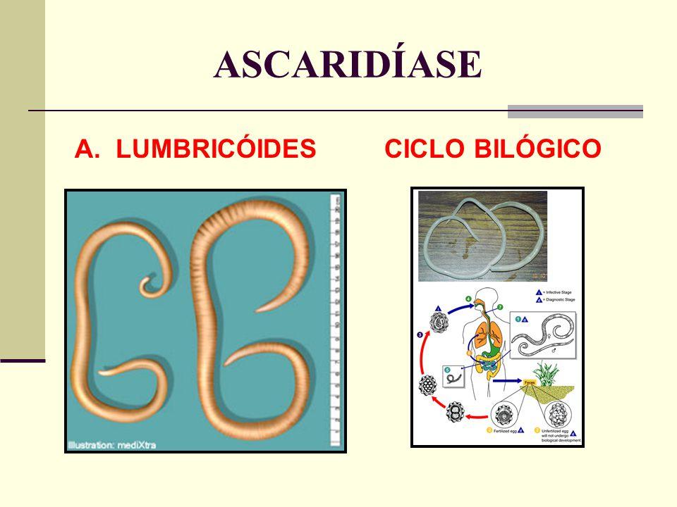 ASCARIDÍASE A. LUMBRICÓIDES CICLO BILÓGICO