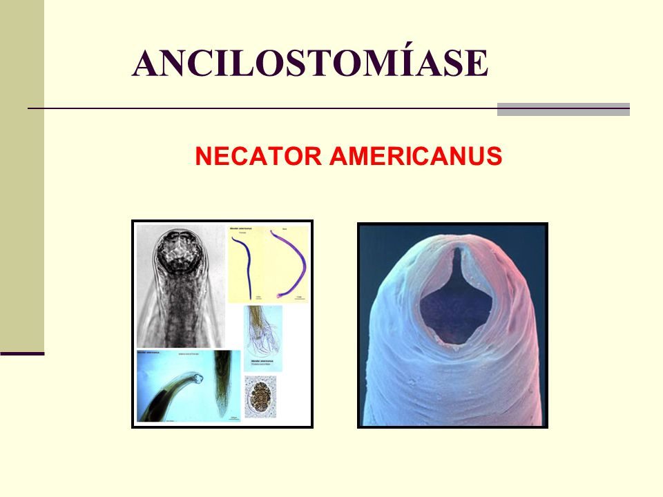 ANCILOSTOMÍASE NECATOR AMERICANUS