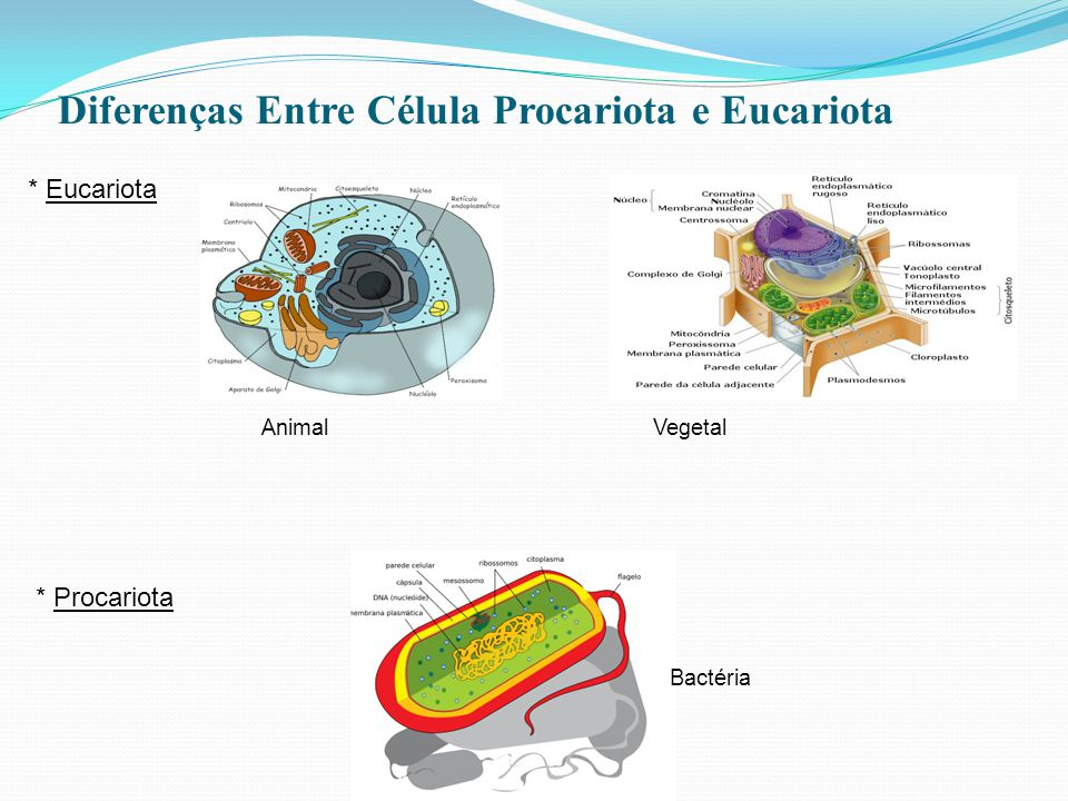 Diferenças Entre Célula Procariota e Eucariota