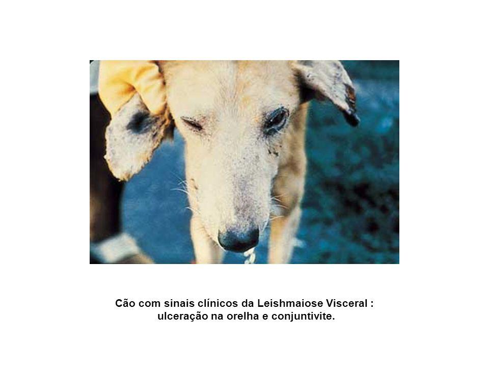Cão com sinais clínicos da Leishmaiose Visceral :
