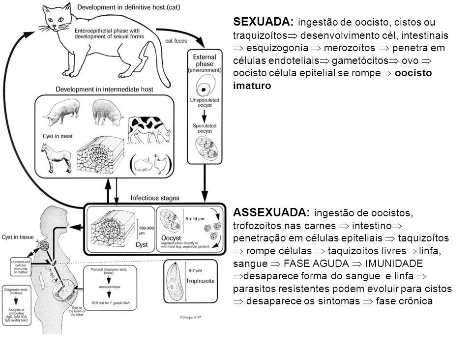 SEXUADA: ingestão de oocisto, cistos ou traquizoítos desenvolvimento cél, intestinais  esquizogonia  merozoítos  penetra em células endoteliais gametócitos ovo  oocisto célula epitelial se rompe oocisto imaturo