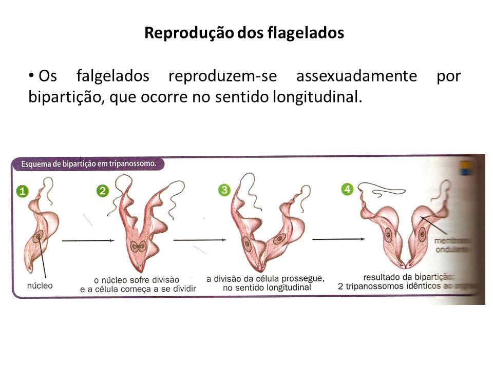 Reprodução dos flagelados