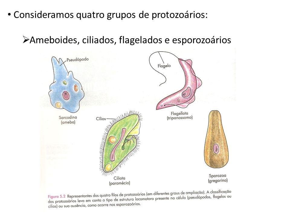 Consideramos quatro grupos de protozoários: