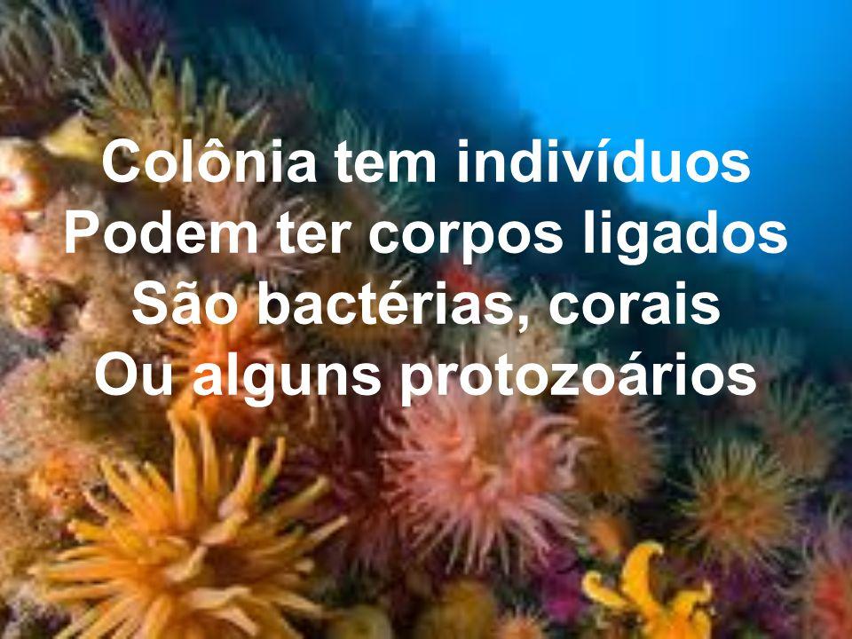 Colônia tem indivíduos Podem ter corpos ligados Ou alguns protozoários