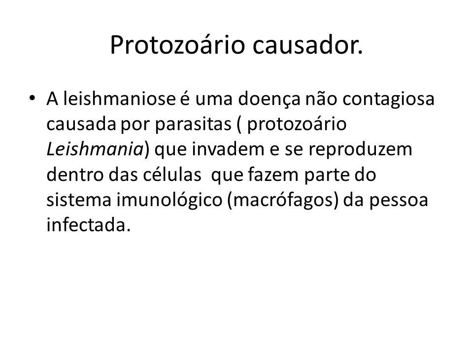 Protozoário causador.