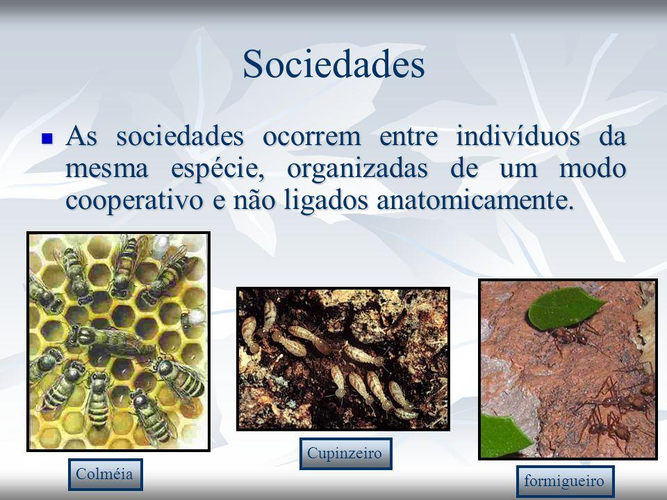 Sociedades As sociedades ocorrem entre indivíduos da mesma espécie, organizadas de um modo cooperativo e não ligados anatomicamente.