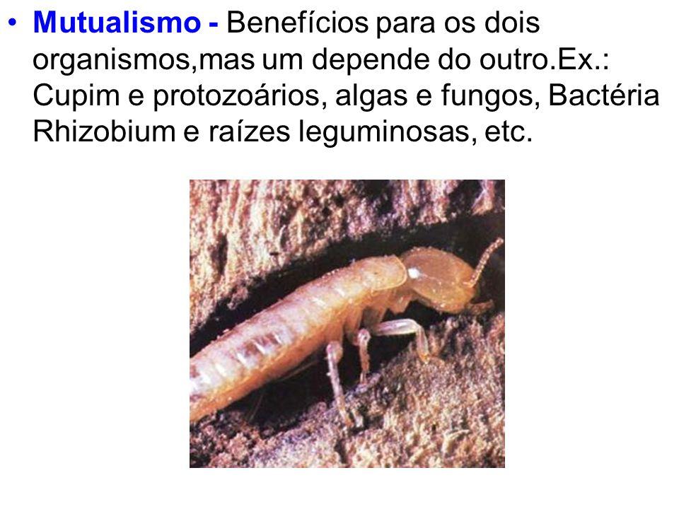 Mutualismo - Benefícios para os dois organismos,mas um depende do outro.Ex.: Cupim e protozoários, algas e fungos, Bactéria Rhizobium e raízes leguminosas, etc.