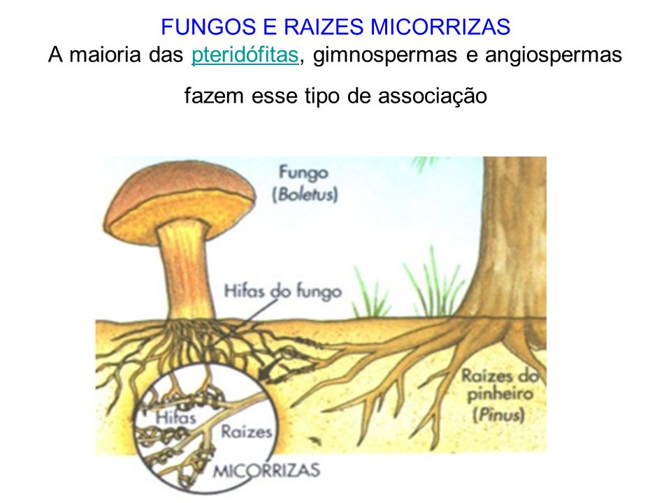 FUNGOS E RAIZES MICORRIZAS A maioria das pteridófitas, gimnospermas e angiospermas fazem esse tipo de associação