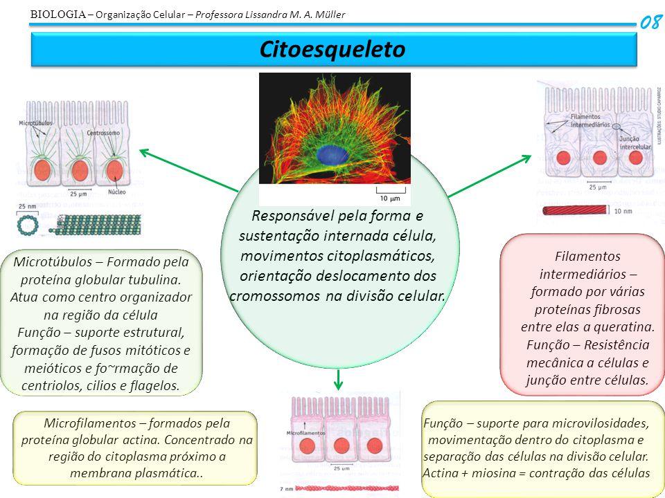 Função – Resistência mecânica a células e junção entre células.