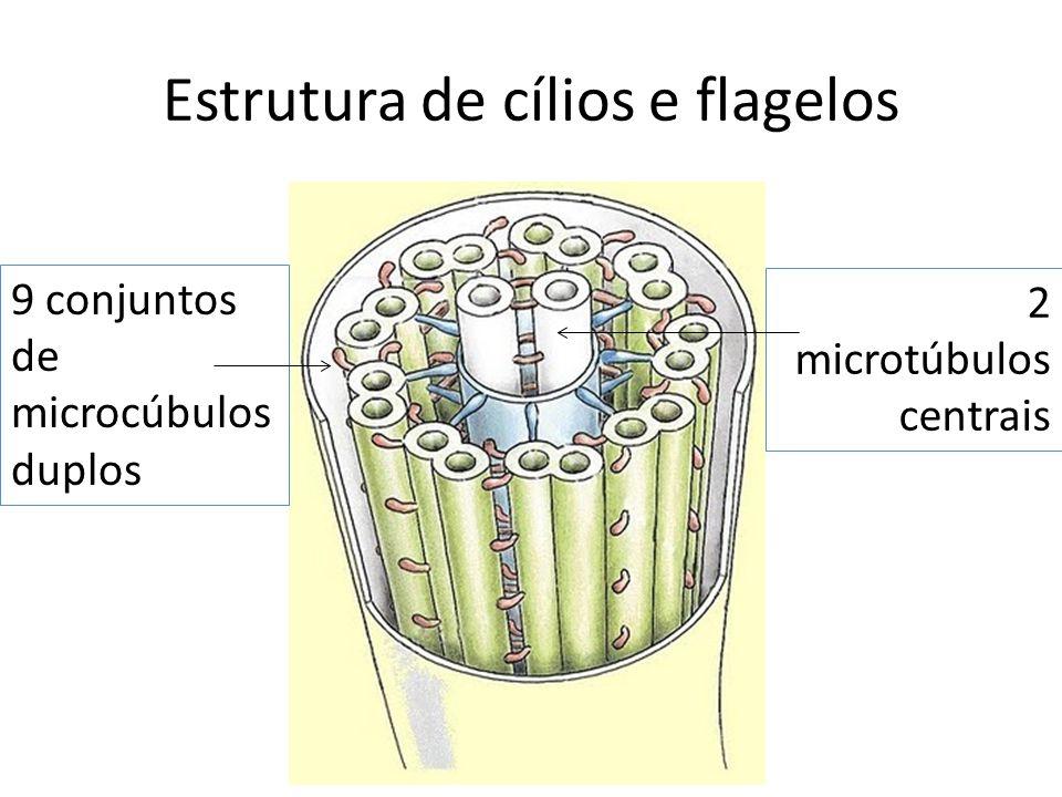 Estrutura de cílios e flagelos