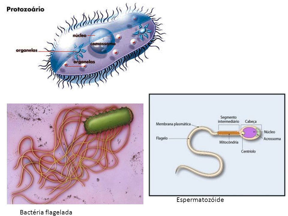 Espermatozóide Bactéria flagelada