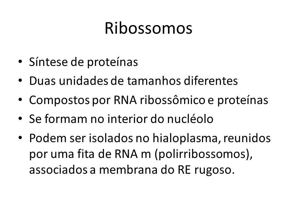 Ribossomos Síntese de proteínas Duas unidades de tamanhos diferentes