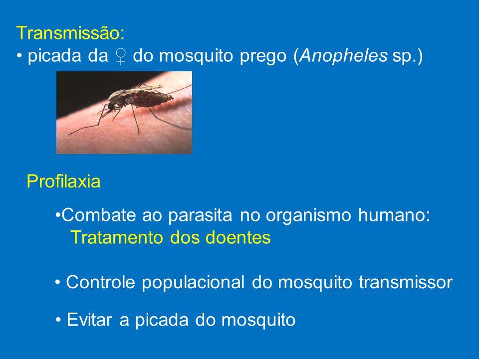 • picada da ♀ do mosquito prego (Anopheles sp.)
