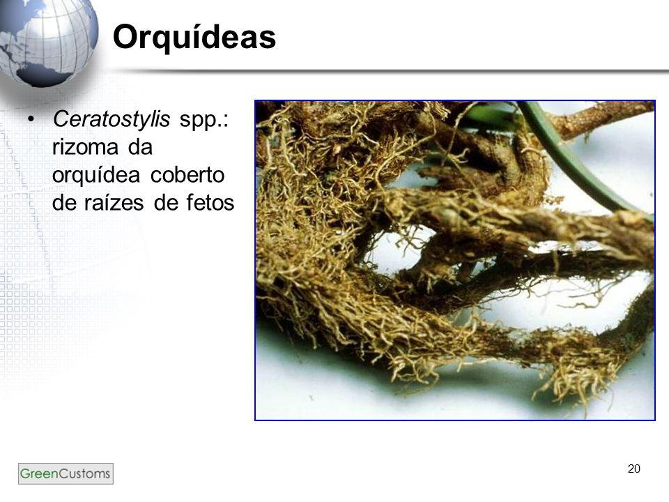 Orquídeas Ceratostylis spp.: rizoma da orquídea coberto de raízes de fetos