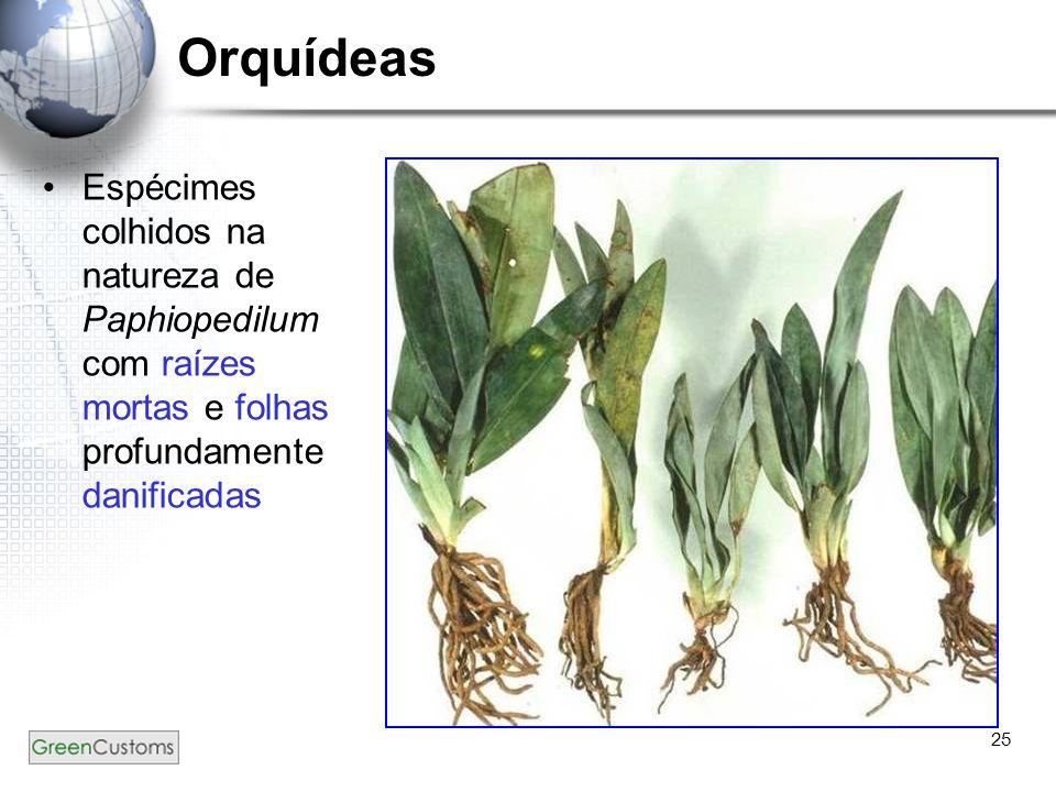 Orquídeas Espécimes colhidos na natureza de Paphiopedilum com raízes mortas e folhas profundamente danificadas.