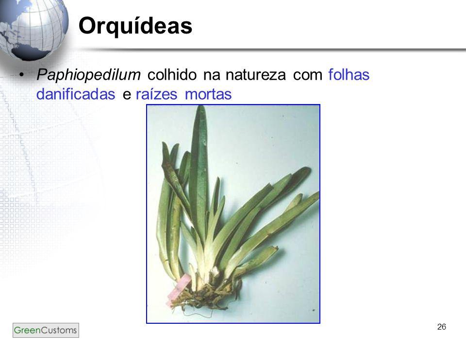 Orquídeas Paphiopedilum colhido na natureza com folhas danificadas e raízes mortas