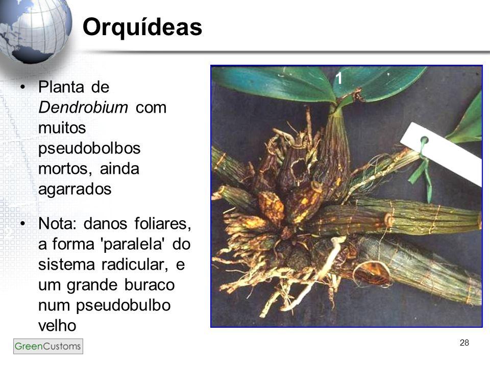 Orquídeas 1. Planta de Dendrobium com muitos pseudobolbos mortos, ainda agarrados.
